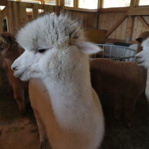 weißes ungeschorenes Alpaka von vorne, Kopf zur Seite geneigt