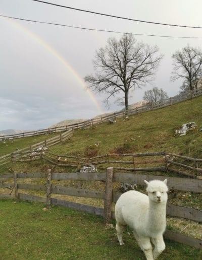 weißes Alpaka auf der Weide mit Regenbogen im Hintergrund