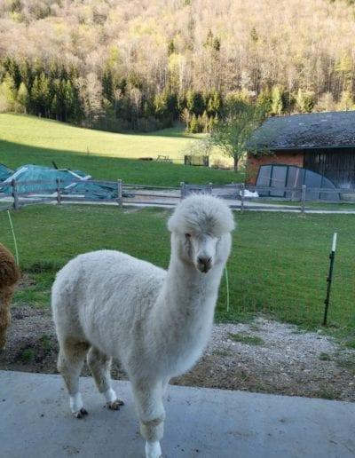 weißes bewolltes Alpaka von schräg vorne - Camille